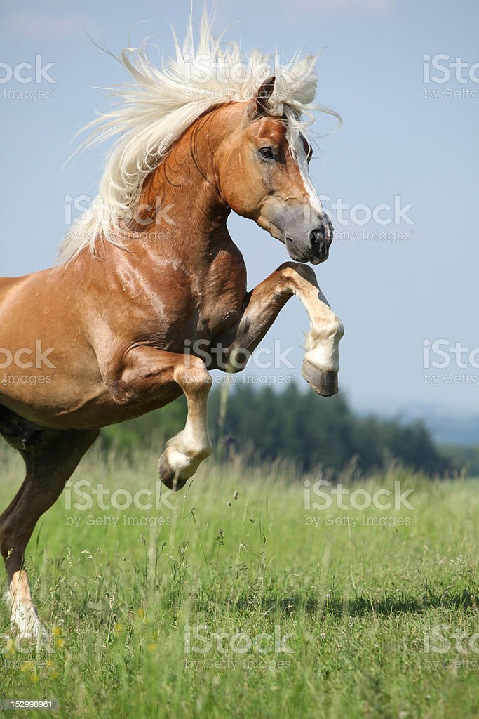 Brown Haflinger stallion jumping in a grassy field stock photo