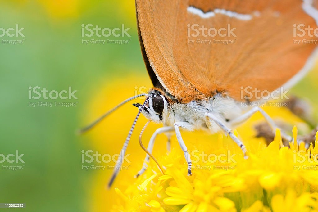 Brown Hairstreak butterfly (Thecla betulae) royalty-free stock photo