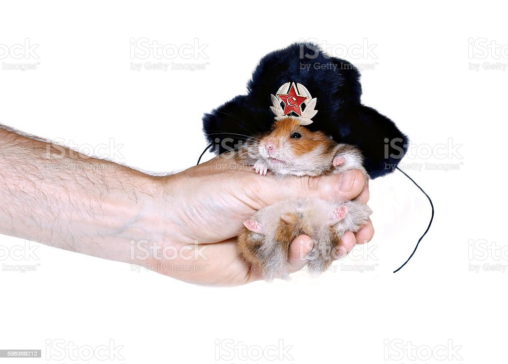 Brown hamster in Russian fur hat with ear flaps stock photo