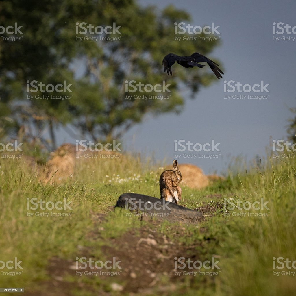 Brown Hare on path, with crow flying over stock photo
