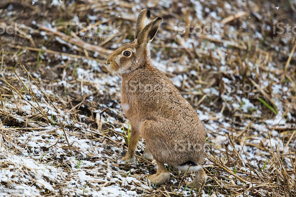 brown hare (European hare, Lepus europaeus) stock photo