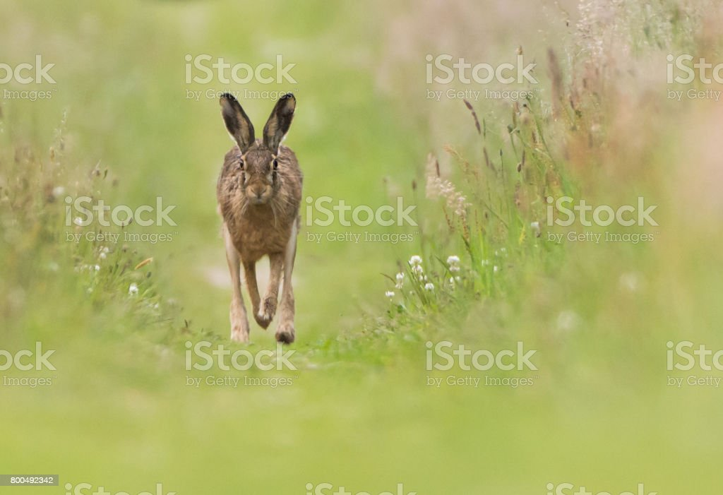 Brown Hare stock photo