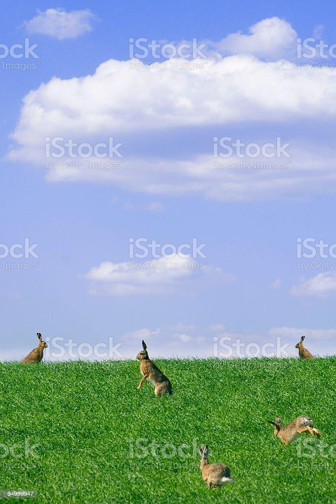 brown hare (Lepus europaeus) stock photo