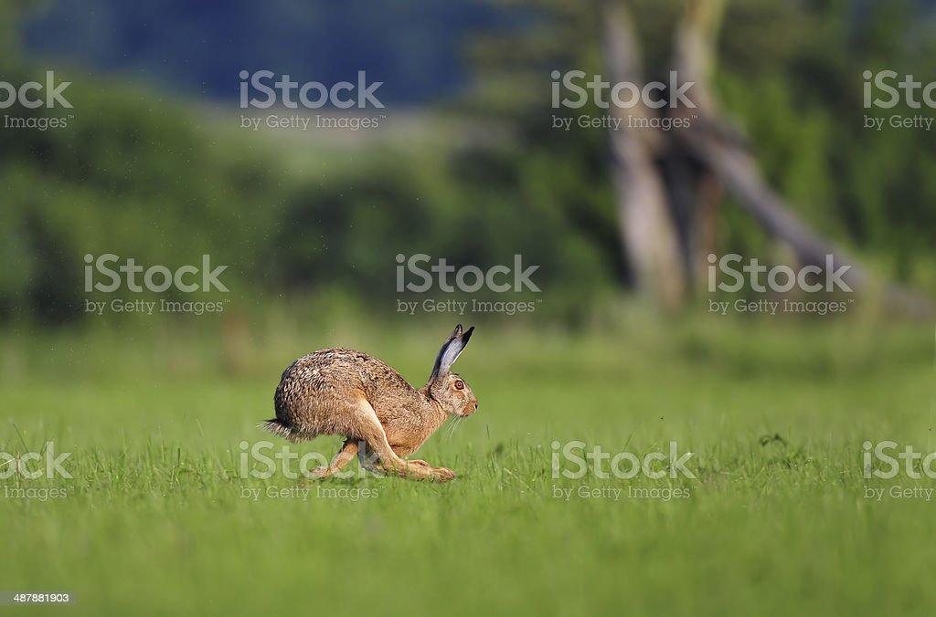 Brown hare running stock photo
