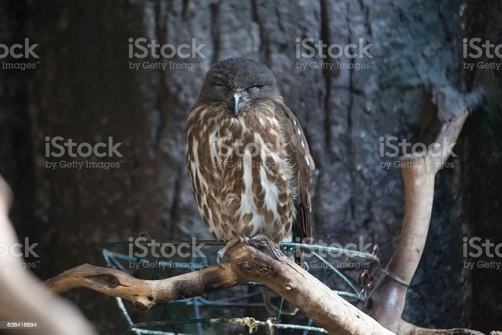 Brown Hawk-owl (Ninox scutulata) stock photo