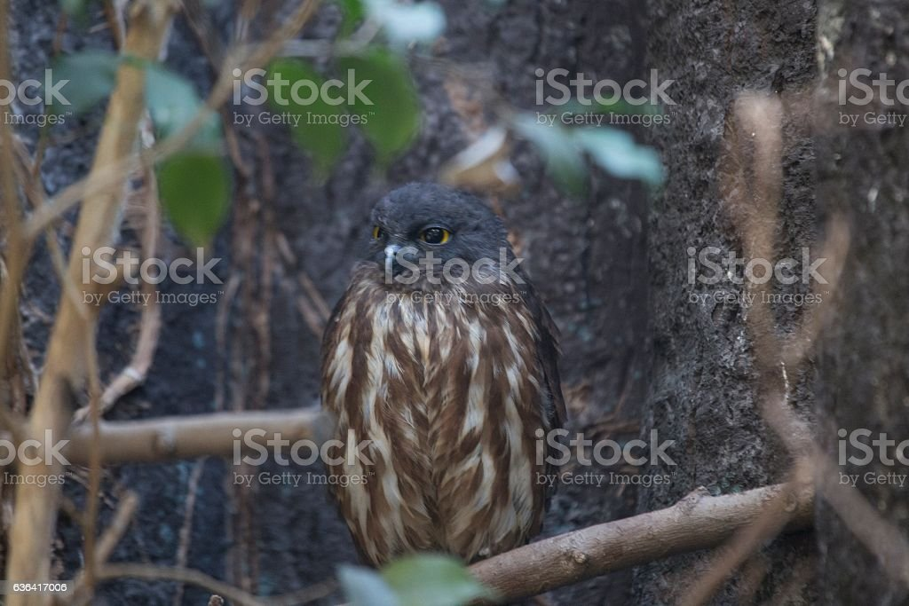 Brown Hawk-owl (Ninox scutulata) stock photo