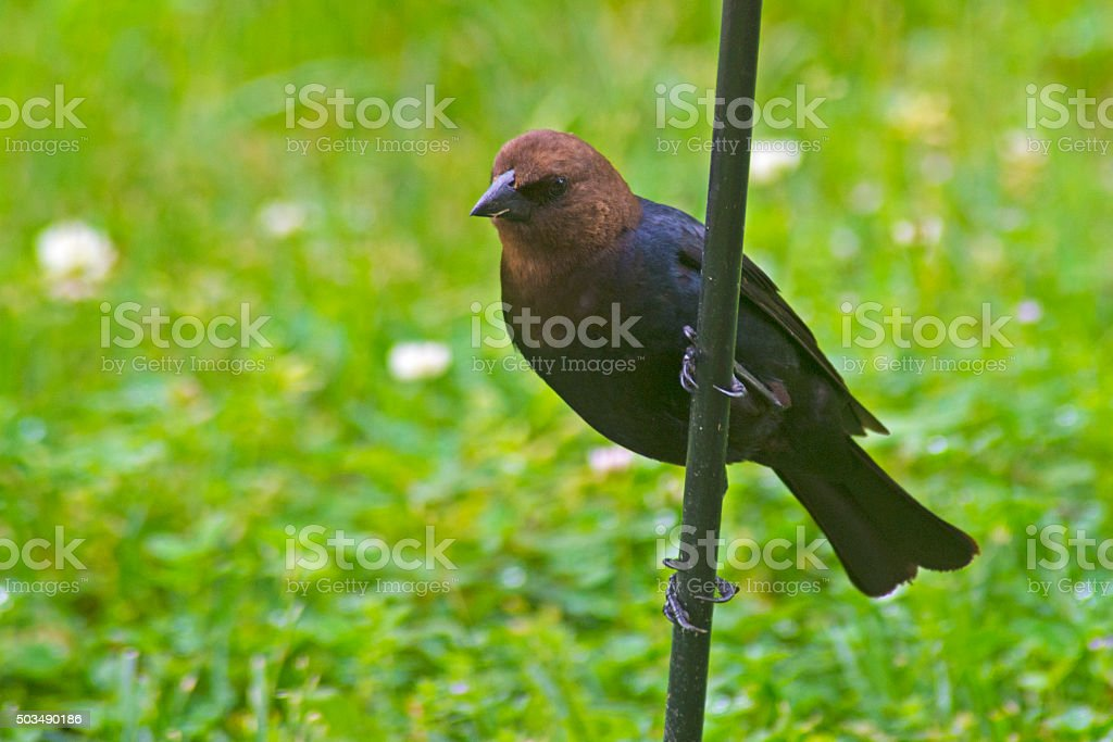 Brown Headed Cow Bird with green background. stock photo