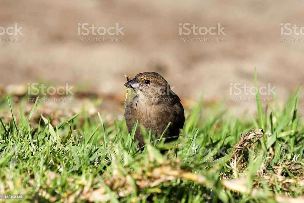 Brown headed Cowbird in San Francisco, California stock photo