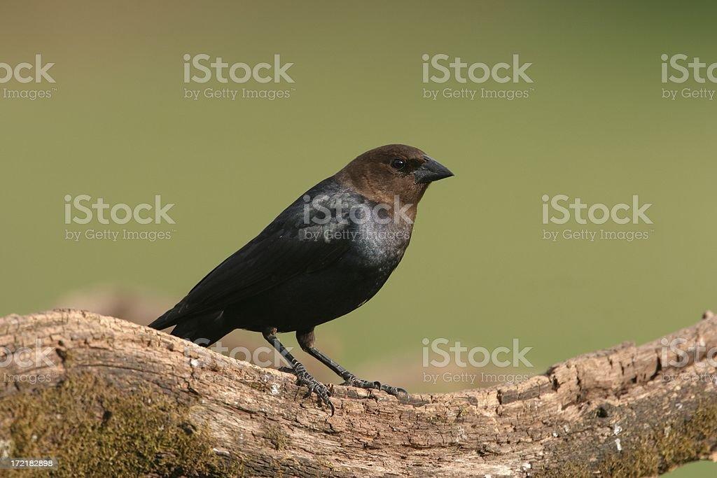 Brown headed Cowbird stock photo
