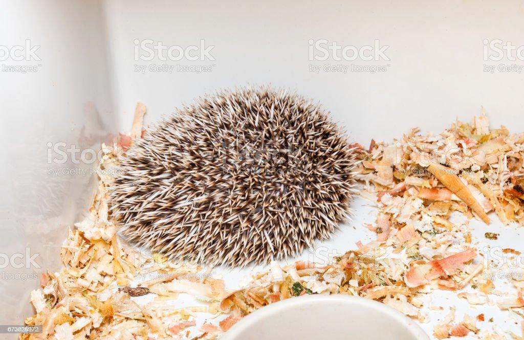 Brown Hedgehogs in Corner of Plastic Bucket [Atelerix frontalis] stock photo