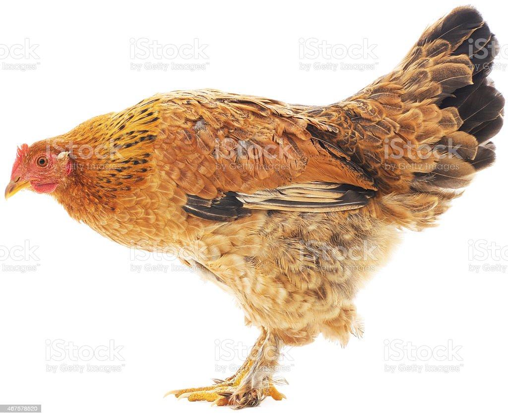 Gallina marrón foto de stock libre de derechos