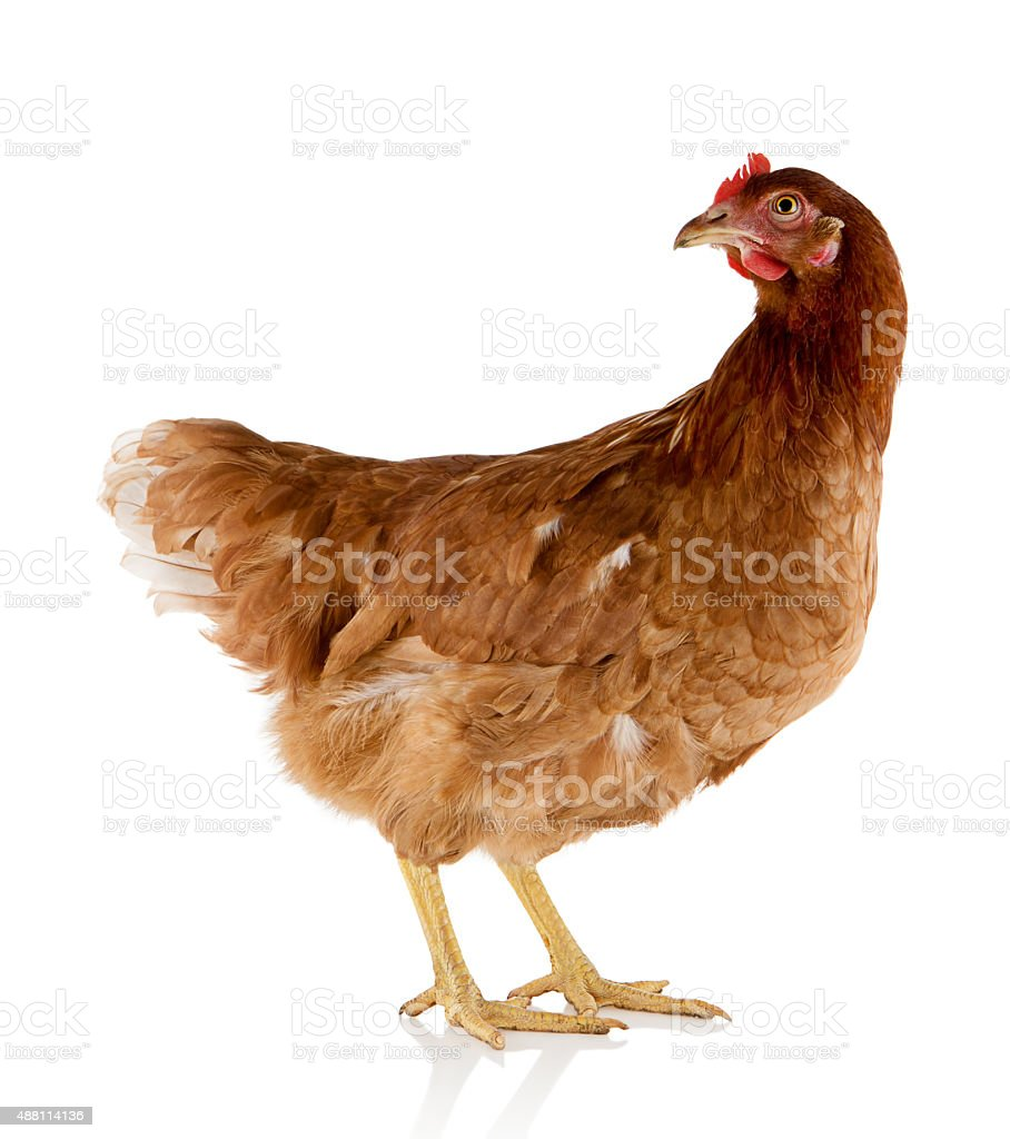 Brown hen stock photo