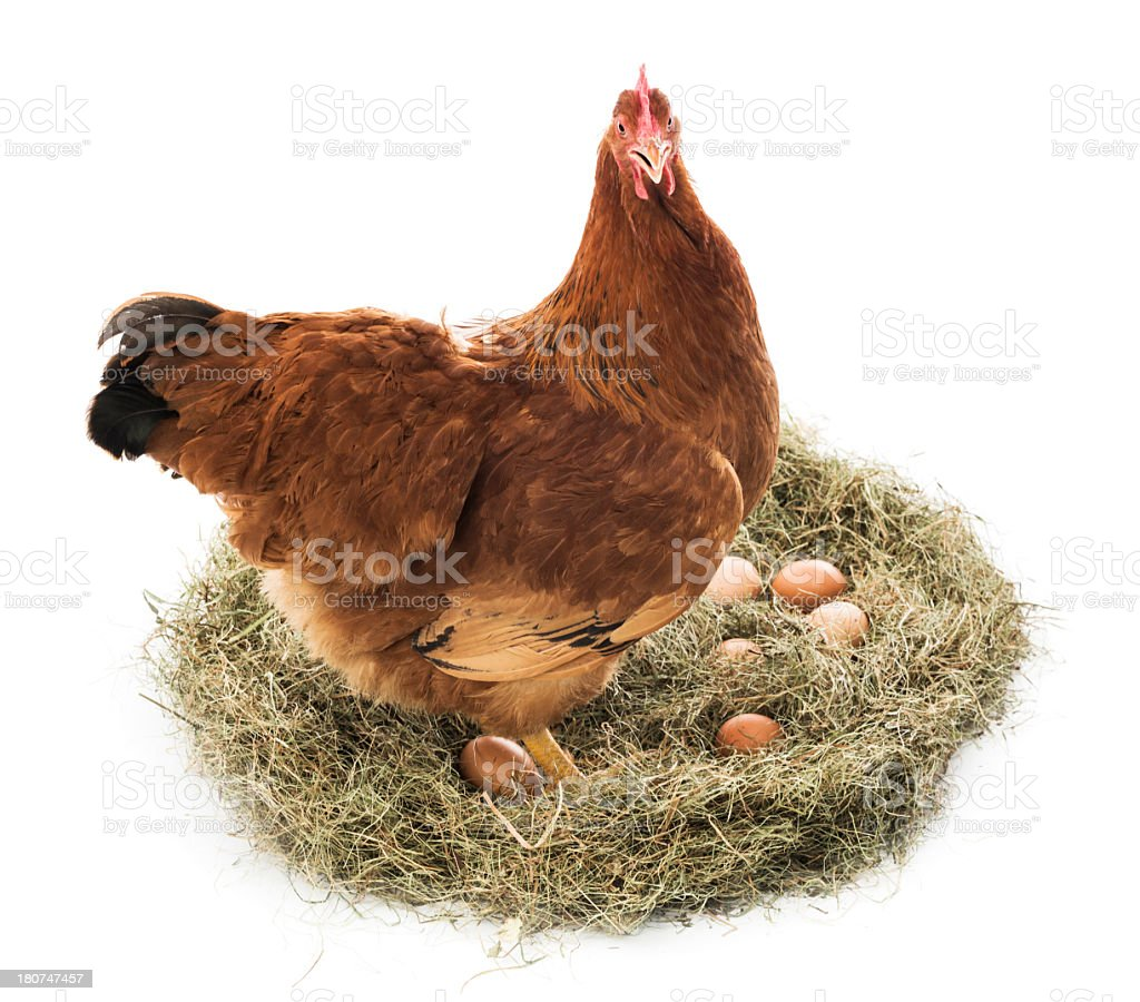 Brown hen with eggs stock photo