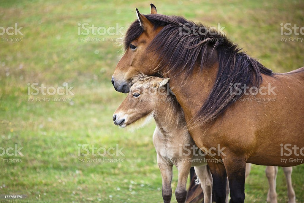 Brown Horse and Her Foal in a Green Field stock photo