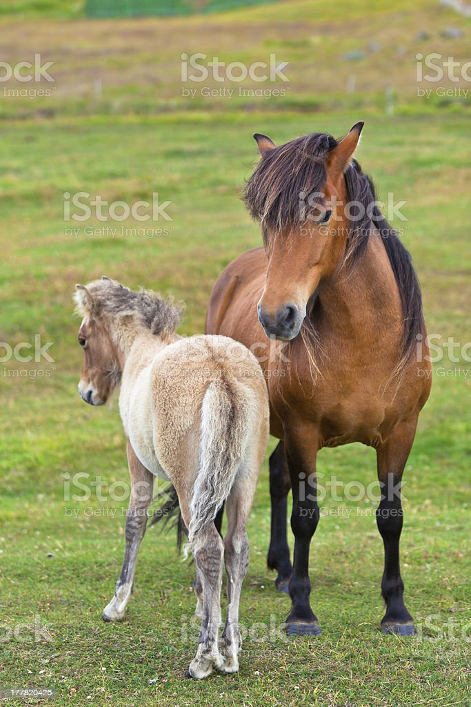 Brown Horse and Her Foal in a Green Field royalty-free stock photo