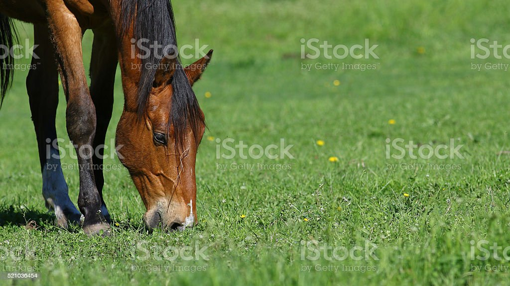 Brown horse background stock photo