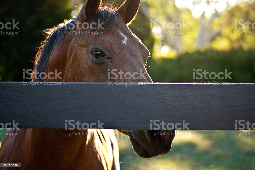 Brown Horse Behind Fence stock photo