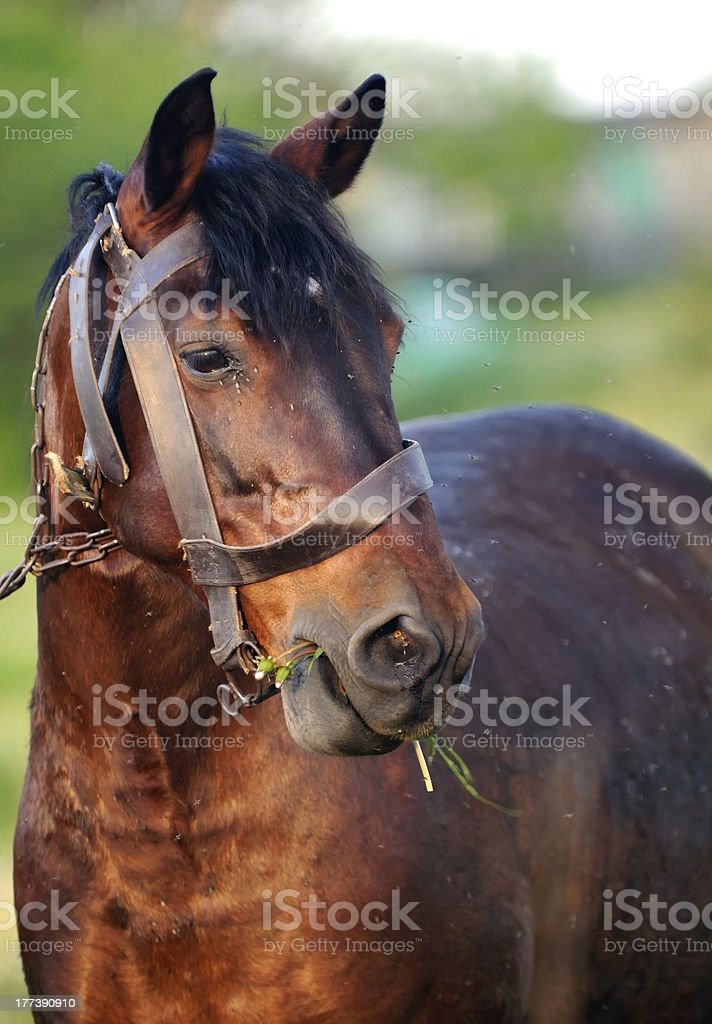 Brown Horse Eating Grass stock photo