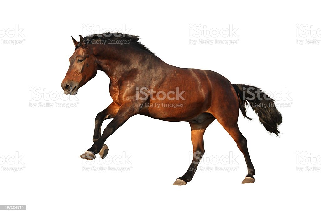 Brown horse galloping isolated on white stock photo