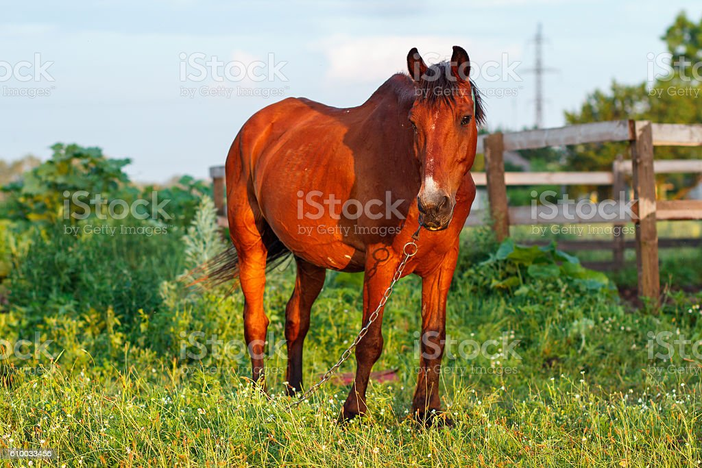 brown horse grazes on a leash next to the stables stock photo