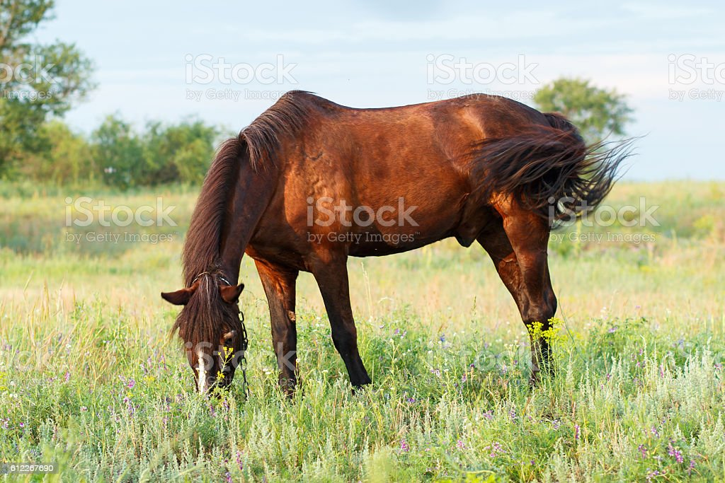 Brown horse grazing on a leash stock photo