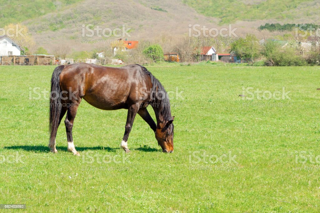 Brown horse grazing on meadow stock photo