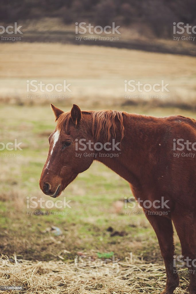 Brown Horse Head Close Up Portrait royalty-free stock photo