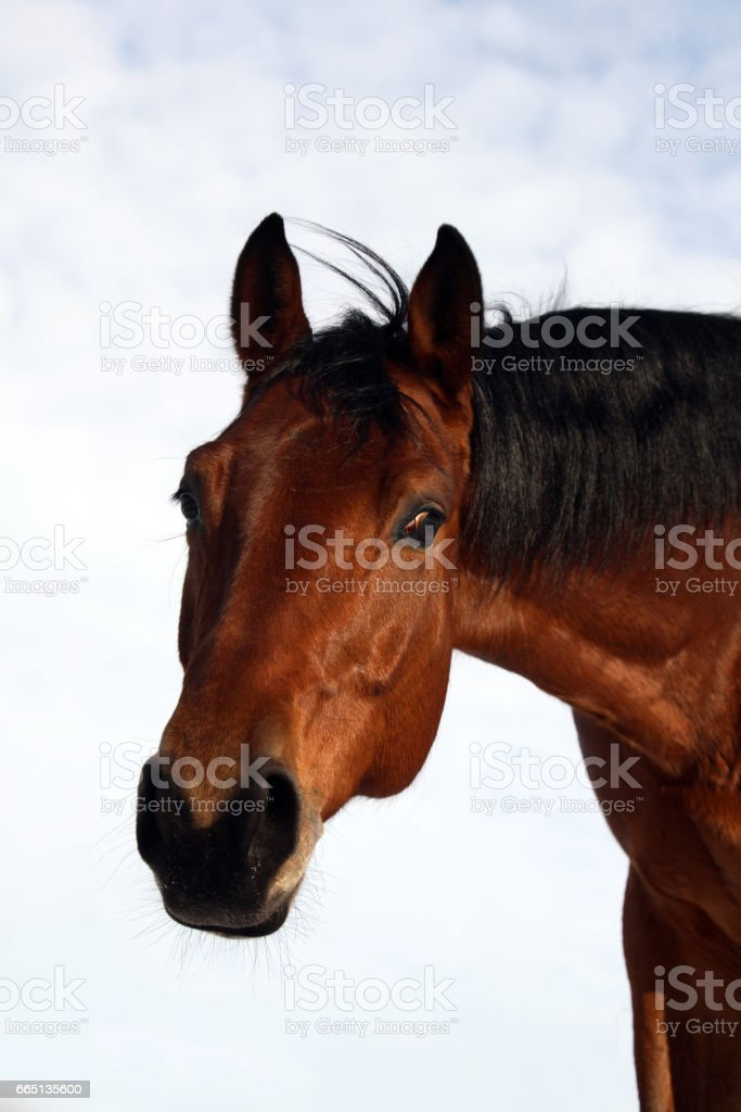 Brown horse headshot stock photo