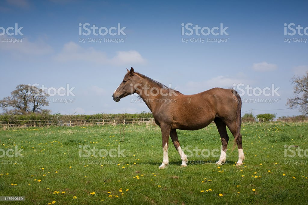 Brown horse in a field stock photo