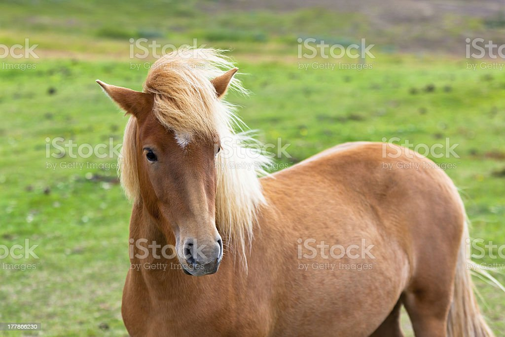 Brown Horse in a Green Field of Grass royalty-free stock photo