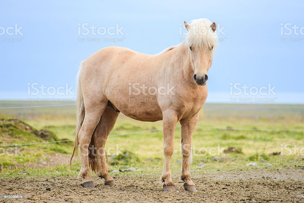 brown horse in iceland stock photo