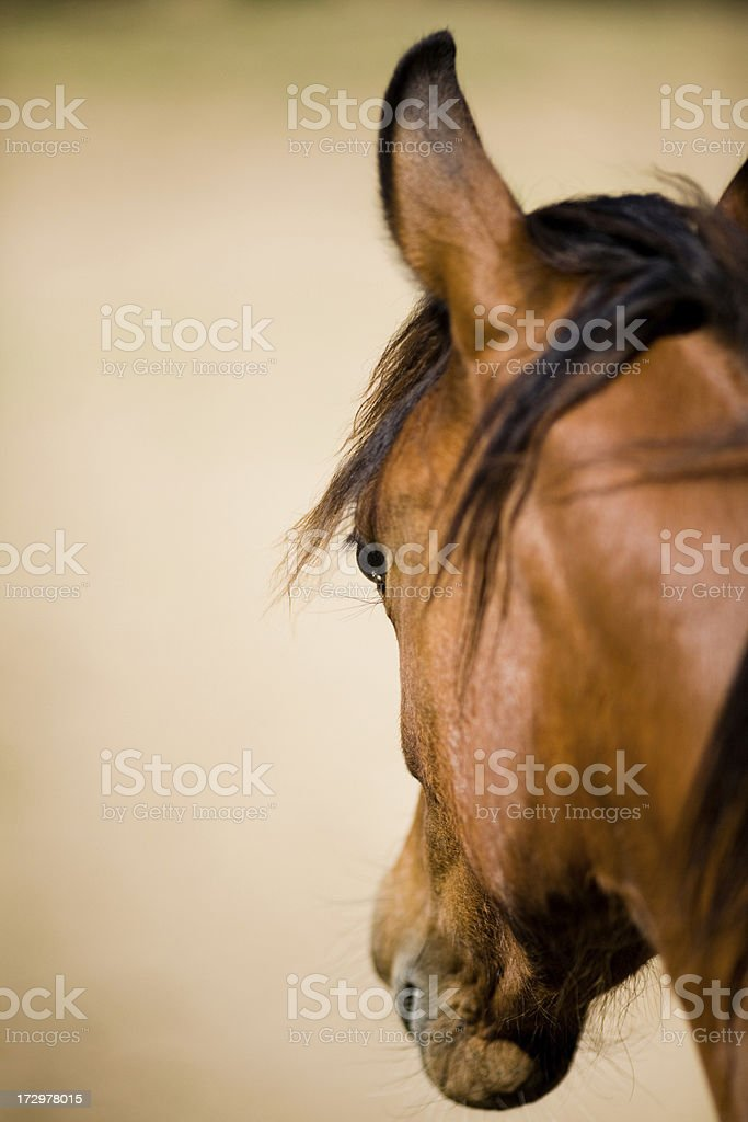 Brown Horse royalty-free stock photo