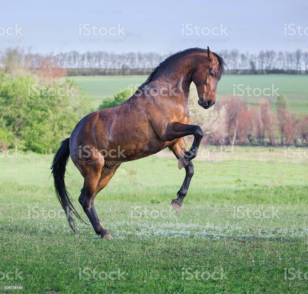 Brown horse play on a green grass stock photo