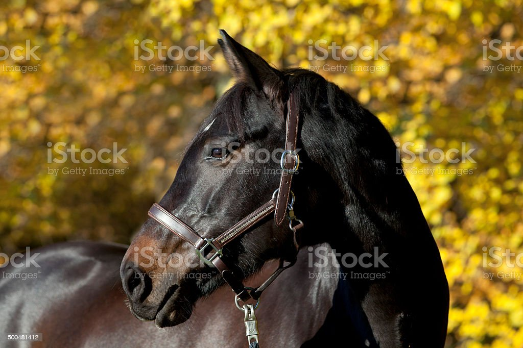 brown horse portrait with yellow autumn leaves in background stock photo