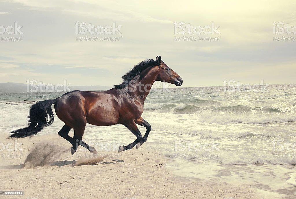 Brown horse running on a sunny beach royalty-free stock photo