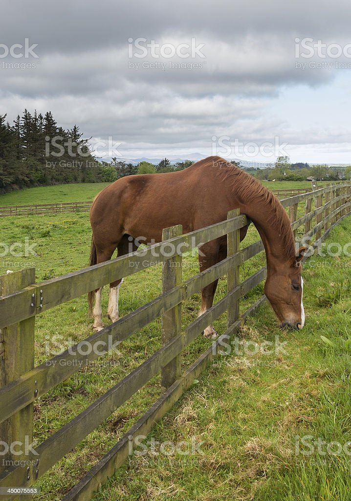Brown horse stretches to reach grass royalty-free stock photo