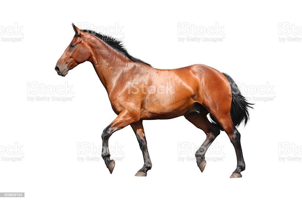 Brown horse trotting fast isolated on white stock photo