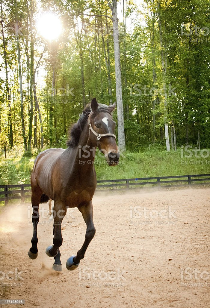 Brown Horse Trotting stock photo