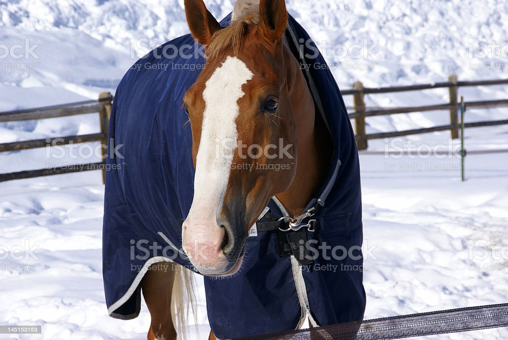 Brown horse with blue blanket stock photo