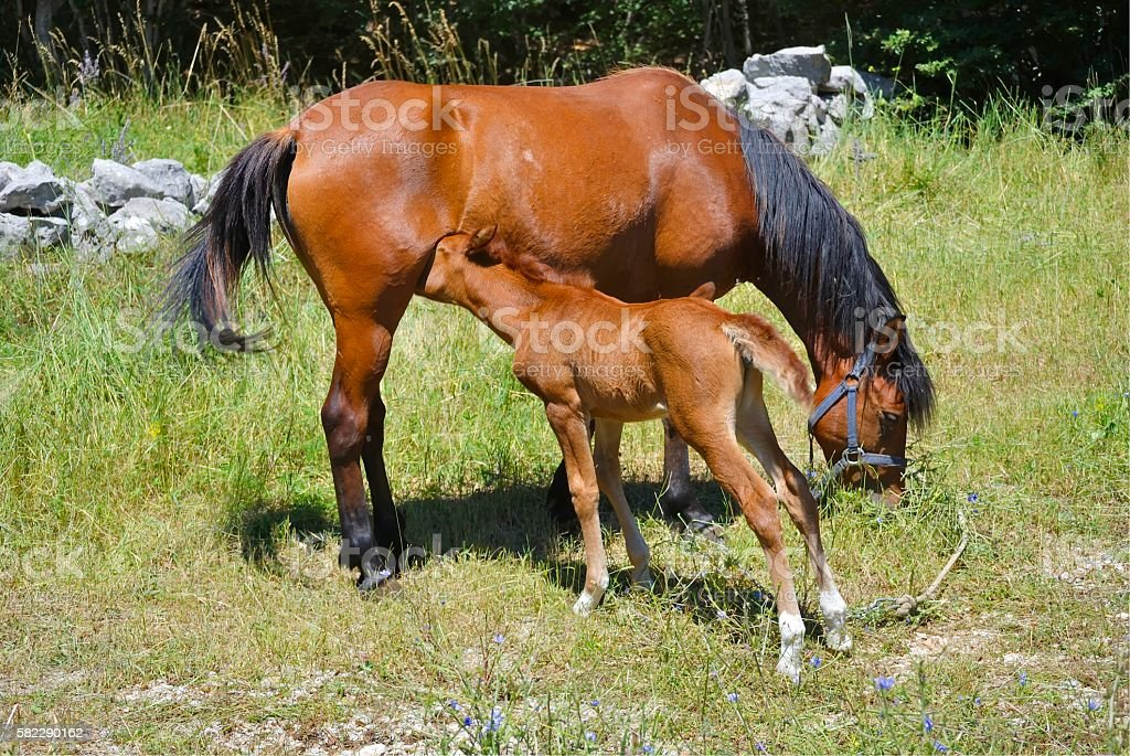 Brown horse with its eating foal stock photo