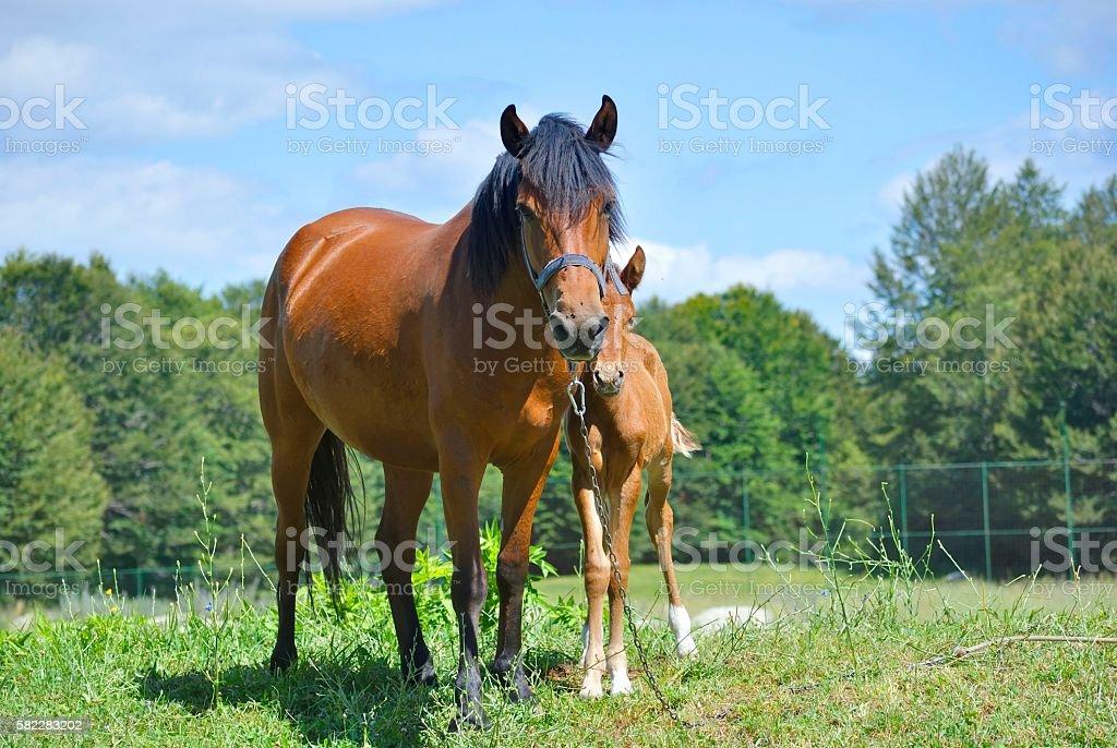 Brown horse with its foal zbiór zdjęć royalty-free