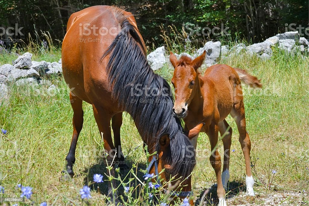 Brown horse with its foal stock photo
