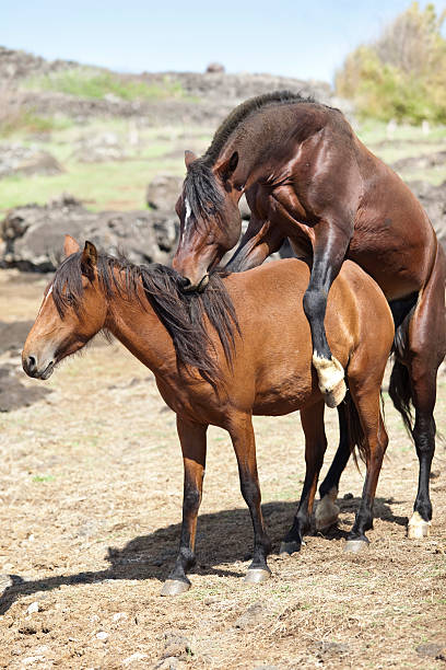 Horse Mating Pictures, Images and Stock Photos - iStock
