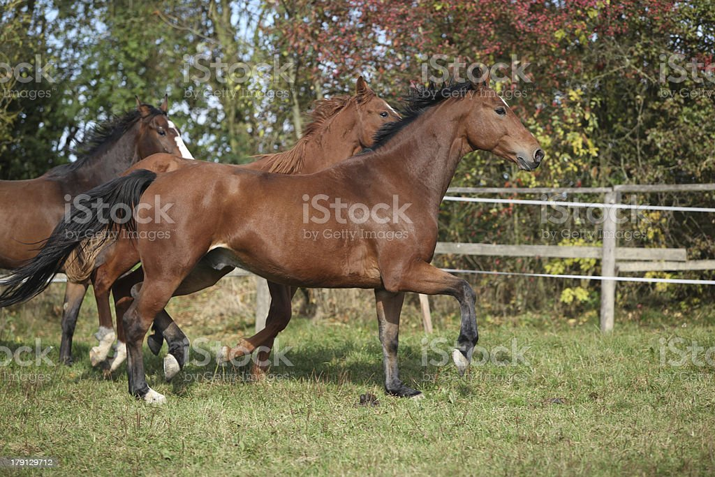 Brown horses running on pasturage royalty-free stock photo