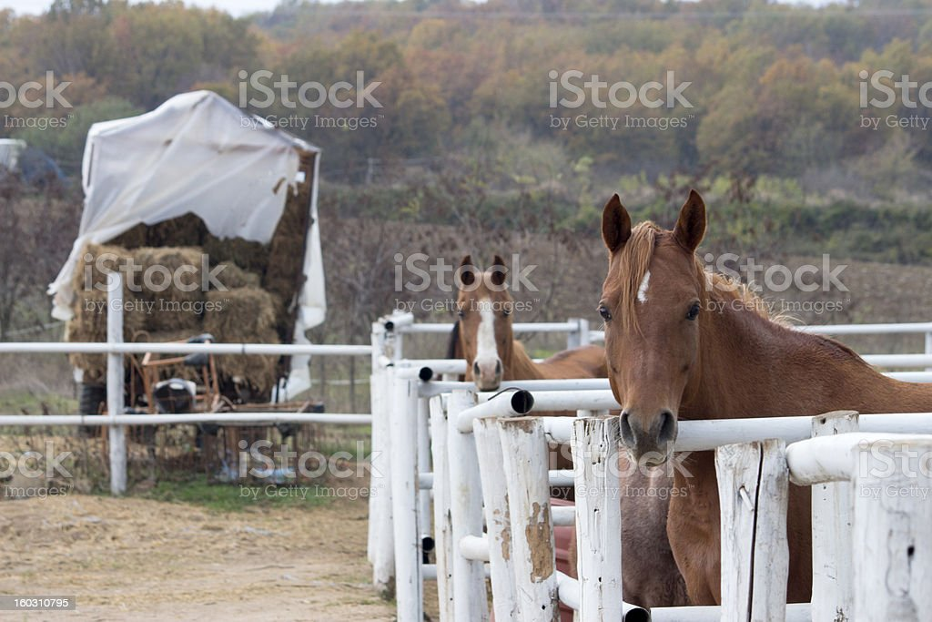 Brown Horses with blond hair royalty-free stock photo