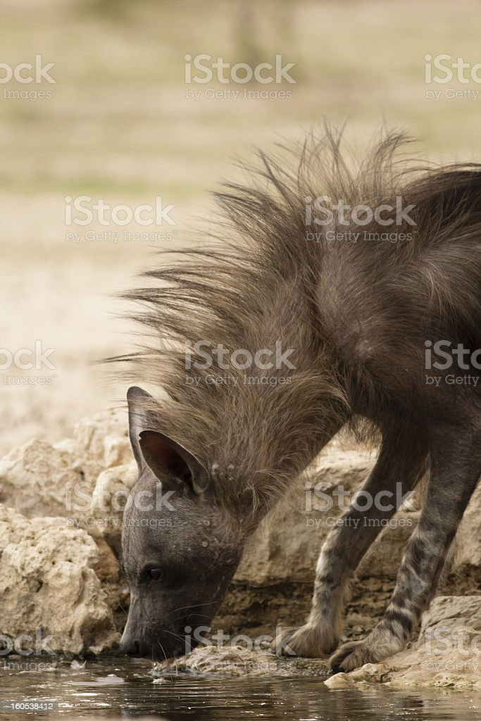 Brown Hyena Drinking royalty-free stock photo