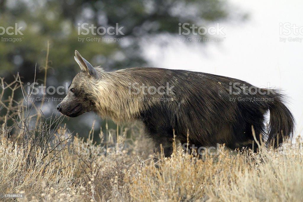 Brown hyena, Kgalagadi Transfrontier Park, South Africa stock photo