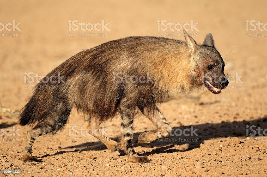 Brown hyena stock photo
