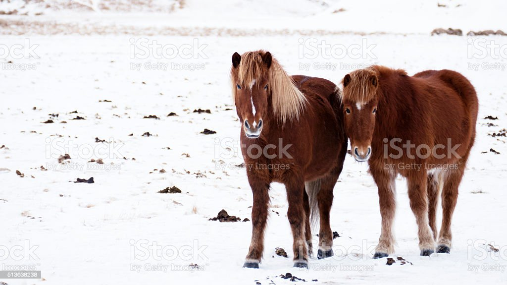 Brown Icelandic horses standing in the snow stock photo