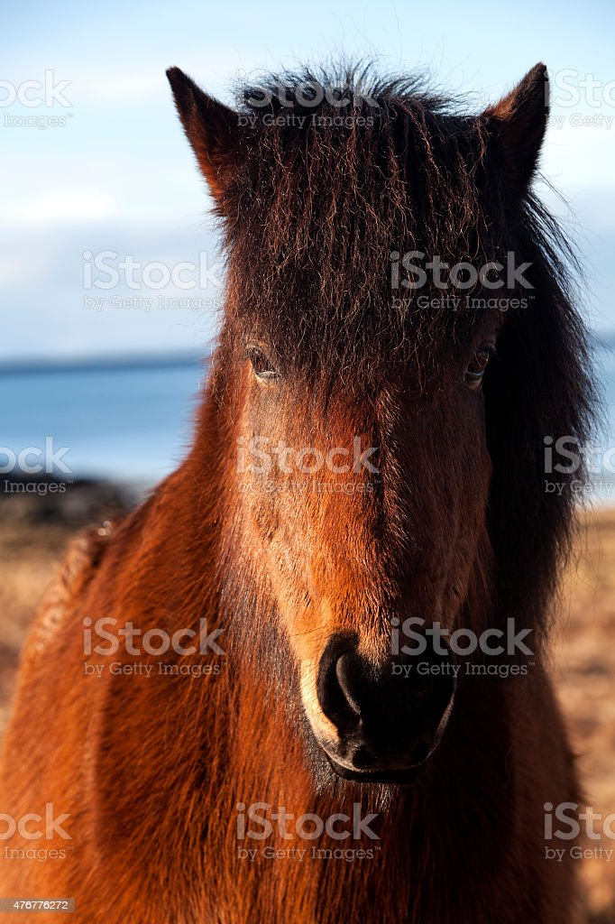 Brown icelandic pony on a meadow stock photo